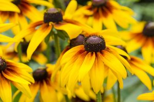 Flower of the Arnica.